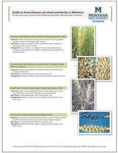 Guide to Head Diseases of Wheat and Barley in Montana WEB003