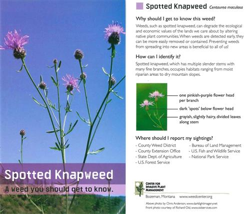 Spotted Knapweed Cards (pkg of 10) 4475