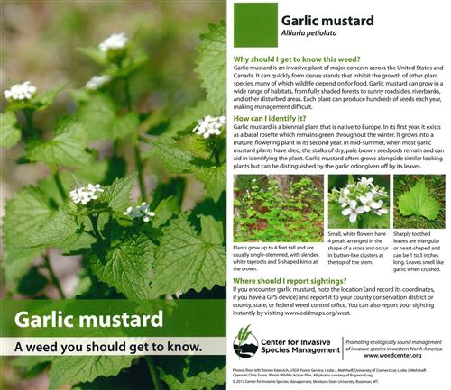 Garlic Mustard Cards (pkg of 10) 4517
