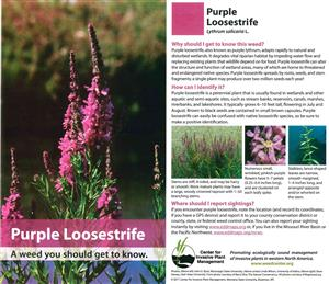 Purple Loosestrife Cards (pkg of 10) 4518